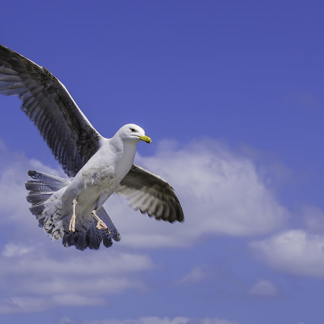 """seagull"" stock image"