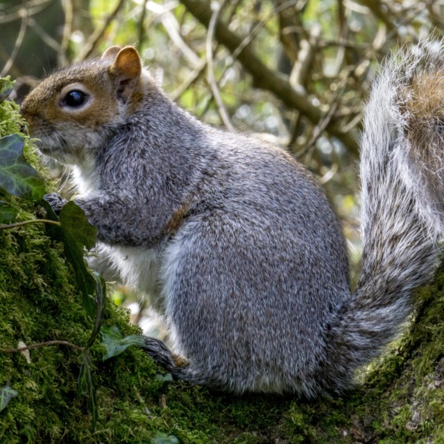 """squirrel sitting in tree"" stock image"