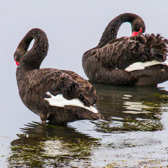 """Preening Black Swans"" stock image"