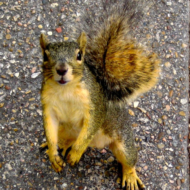 """Curious Squirrel"" stock image"