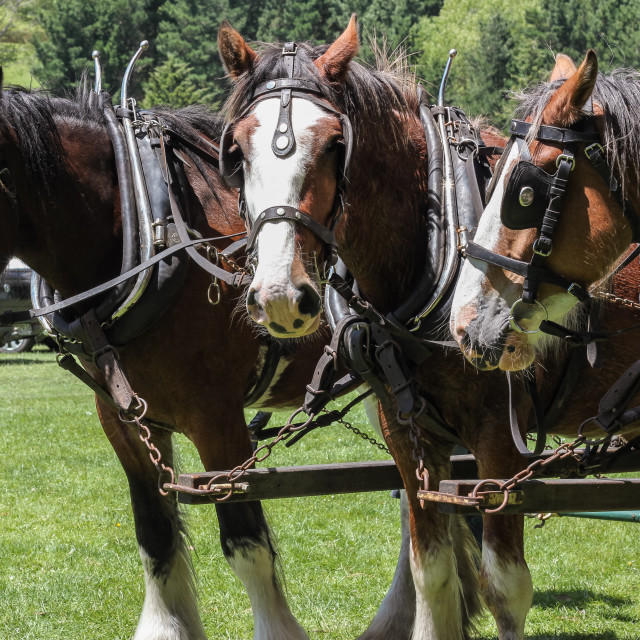 """""""Clydesdale team"""" stock image"""