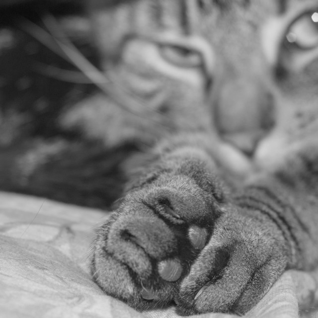 """""""Tabby Paws in Black and White"""" stock image"""