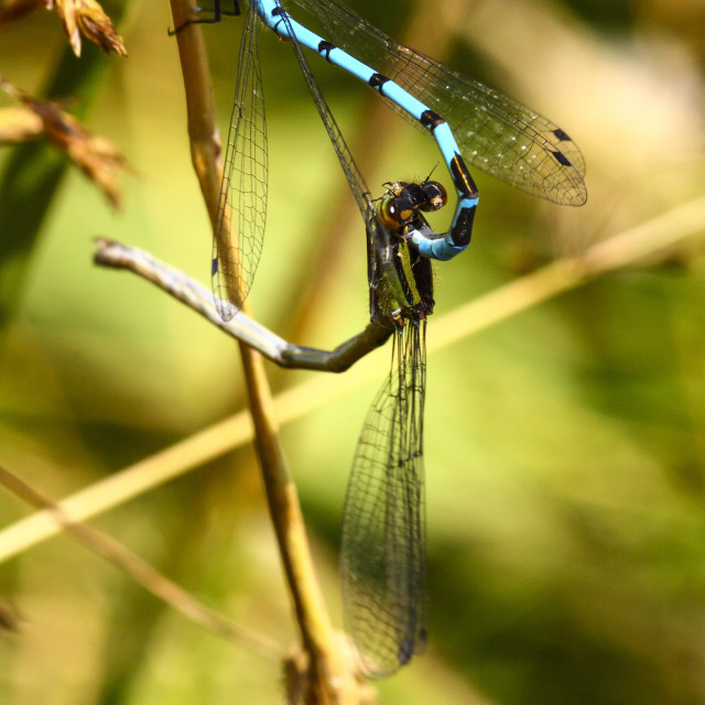 """Male and female damselfly"" stock image"
