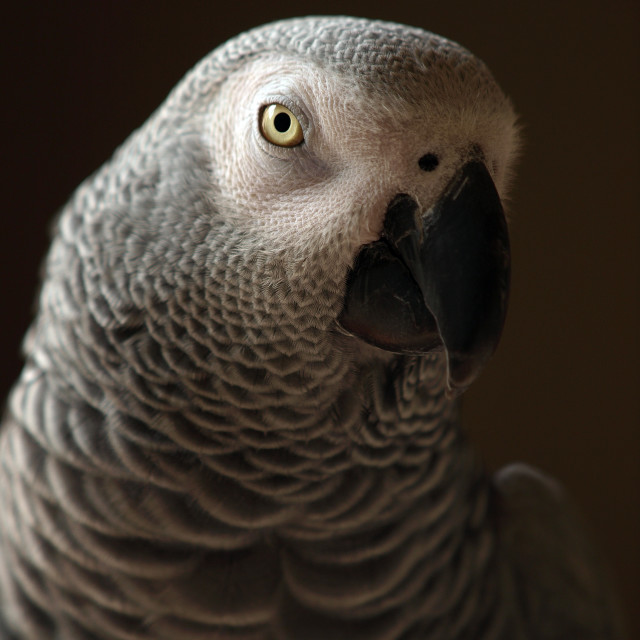 """Congo African Grey Parrot"" stock image"