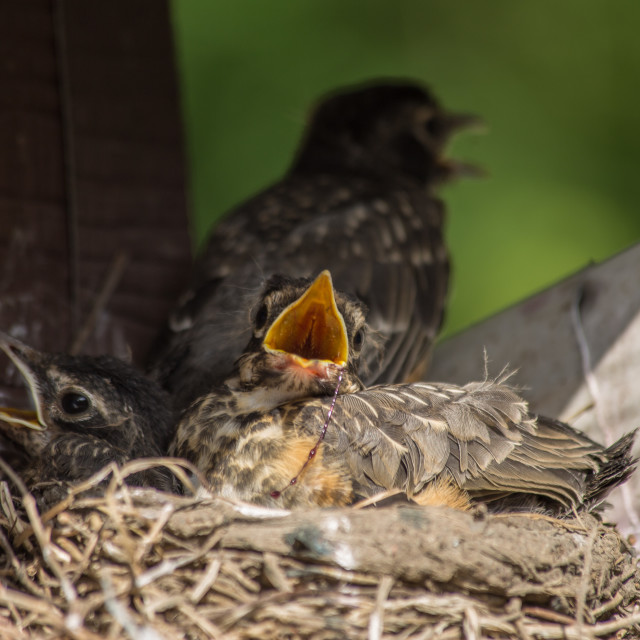 """""""Three Robin's in the nest"""" stock image"""