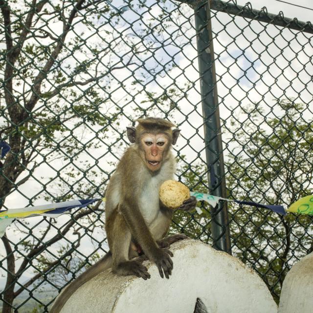 """Toque macaque"" stock image"