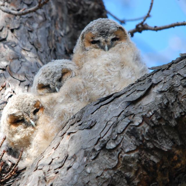 """baby tawny owls"" stock image"