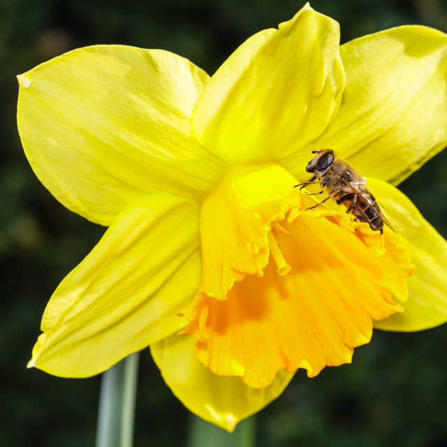 """""""Hardworking Bee"""" stock image"""