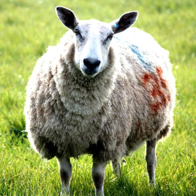 """Fluffy Sheep"" stock image"