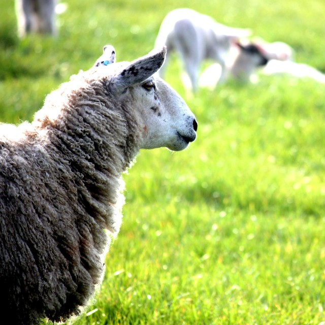 """""""Sheep in Field"""" stock image"""