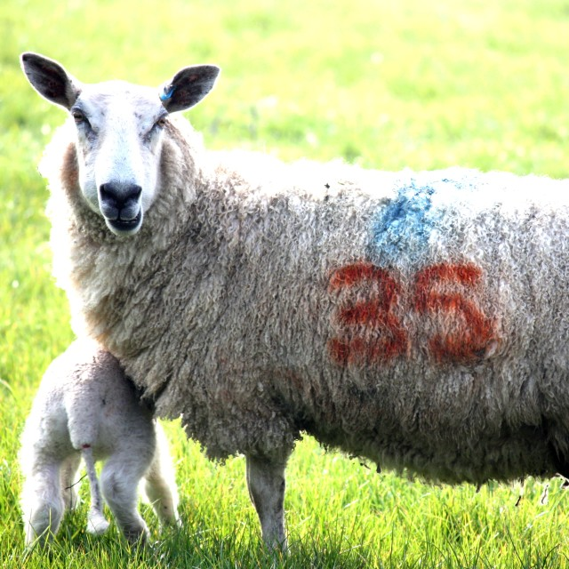 """Sheep with Lamb"" stock image"