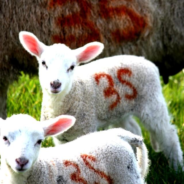 """Devonshire Lambs"" stock image"