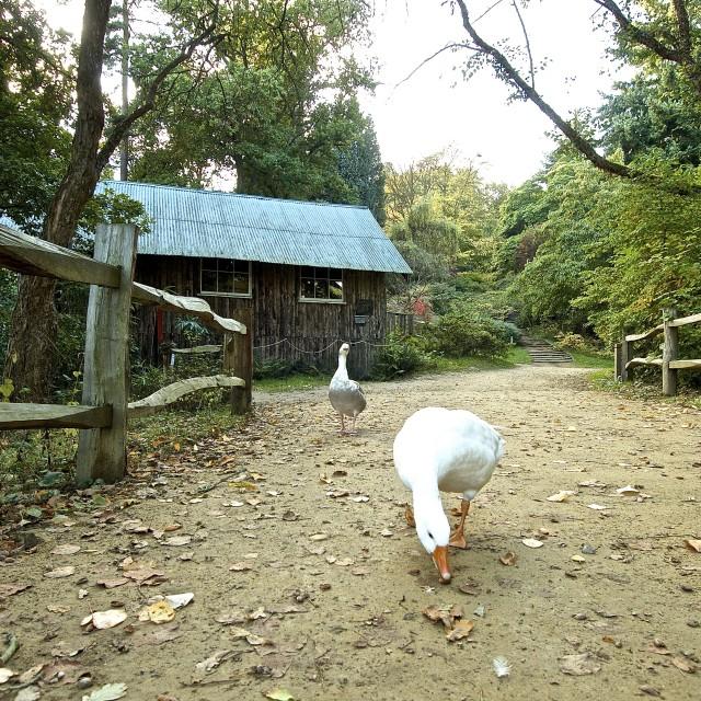 """Goose Walk 2"" stock image"