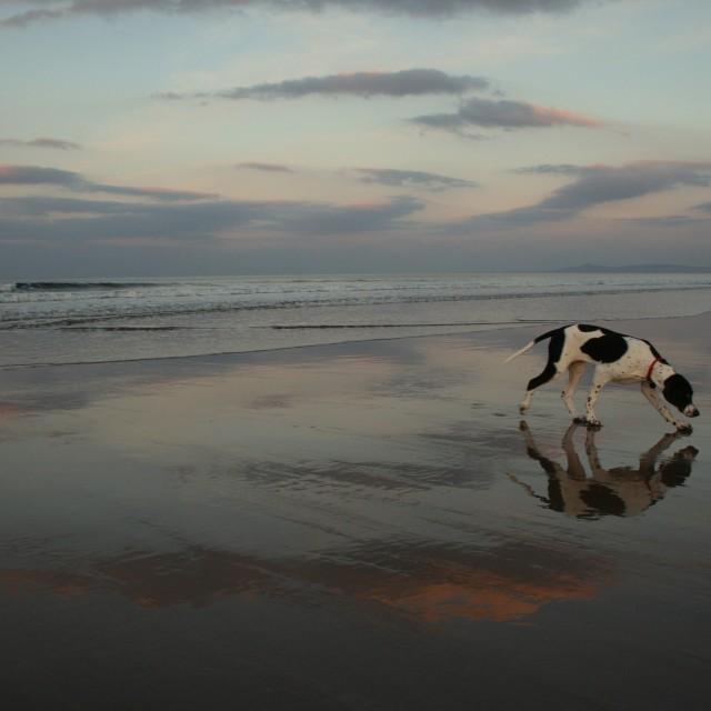 """English Pointer on Scottish Beach at Sunset"" stock image"
