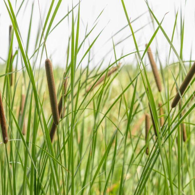 """Typha Latifolia"" stock image"