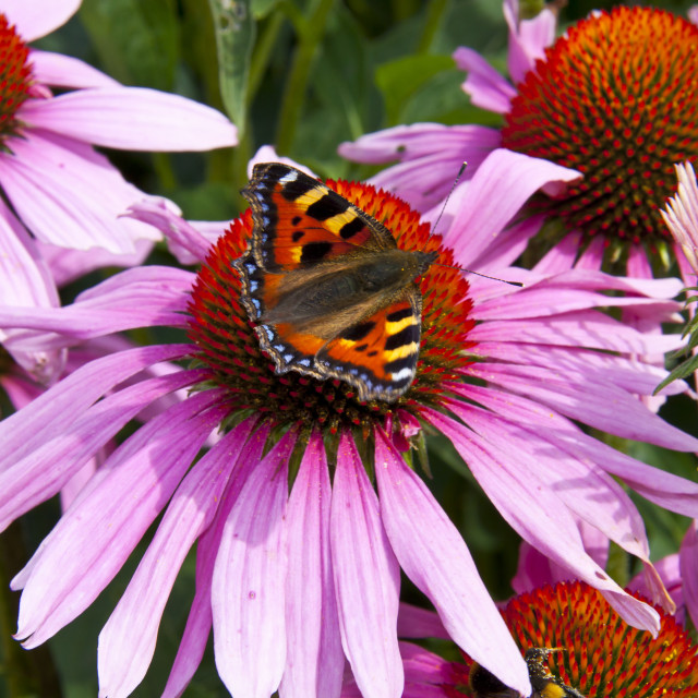 """""""Butterfly on Echinacea"""" stock image"""