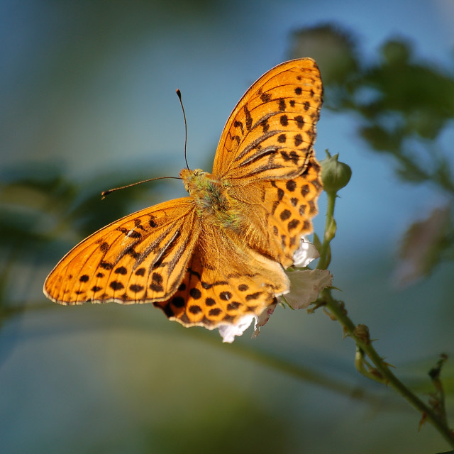 """silver-washed fritillary"" stock image"