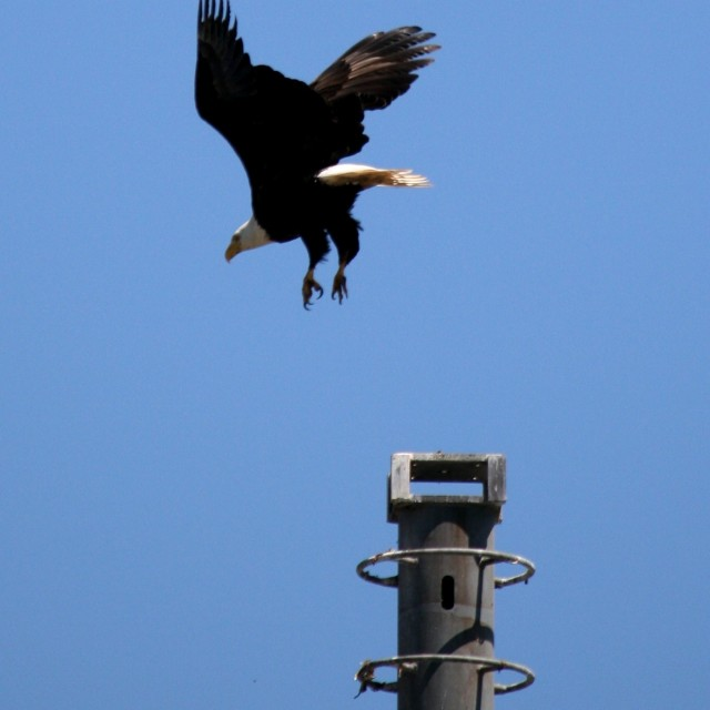 """Sea Eagle Landing on Post"" stock image"