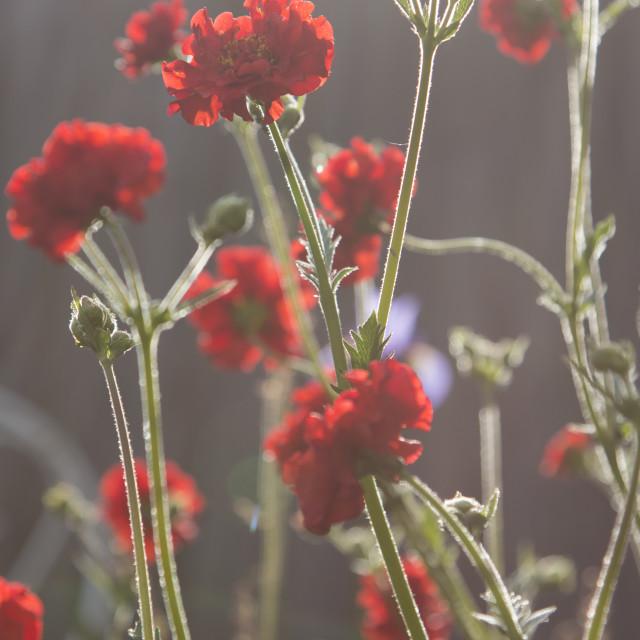 """""""Geum's in the garden"""" stock image"""