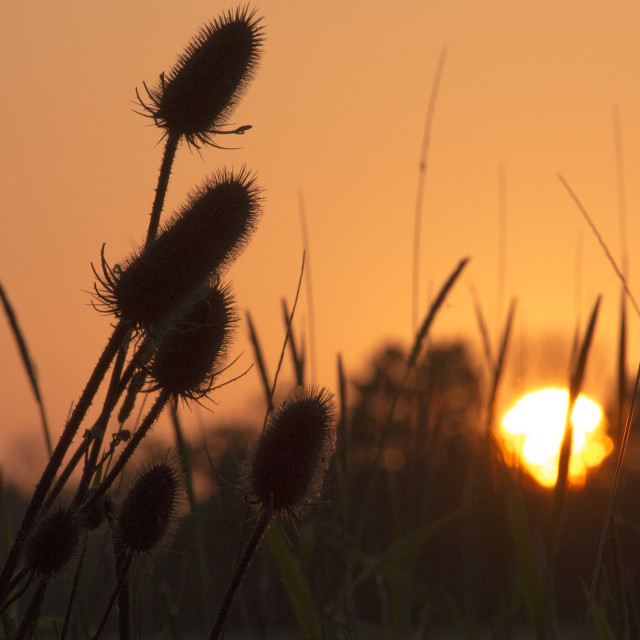 """""""Teasel's at sunset"""" stock image"""