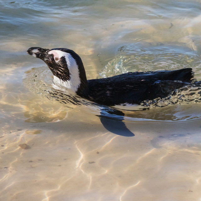 """""""Humboldt Penguin swimming by"""" stock image"""