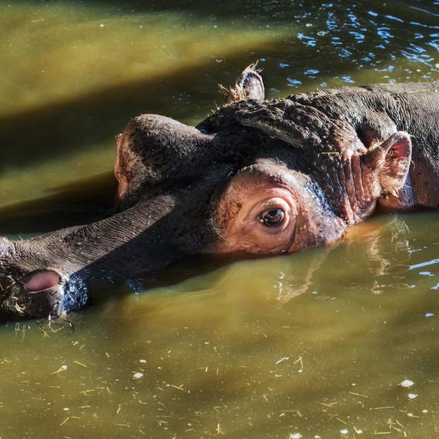 """Hippo waiting in muddy water"" stock image"