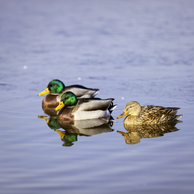 """""""Group of three colorful ducks. Color image"""" stock image"""