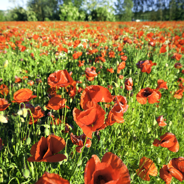"""""""Field of wild red poppies. Color image"""" stock image"""