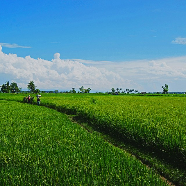 """Rice paddy field"" stock image"
