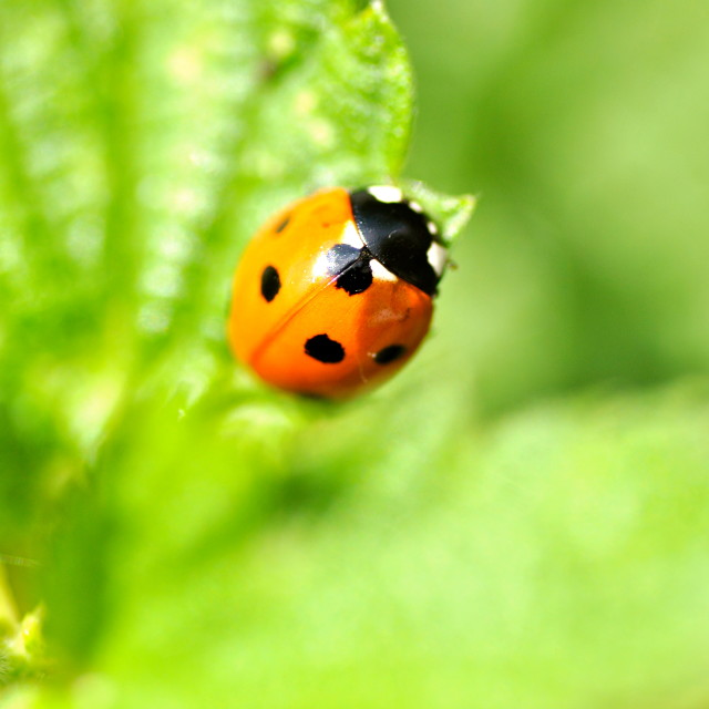 """dented 7 spot Ladybird"" stock image"