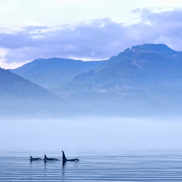 """Killer whales in landsacpe"" stock image"
