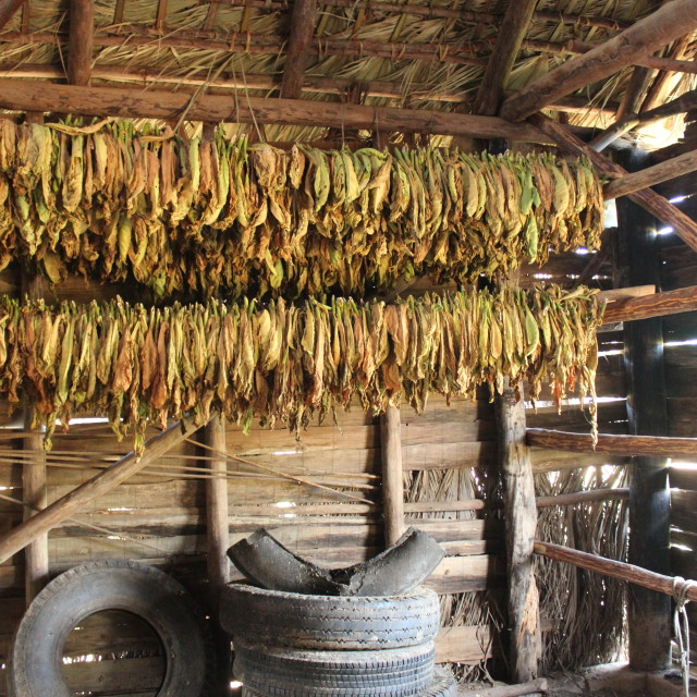 """Drying tobacco leaves"" stock image"