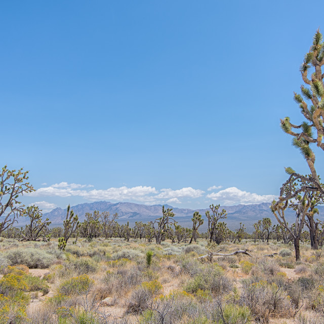"""Joshua Tree Forest, Mojave National Preserve, CA"" stock image"