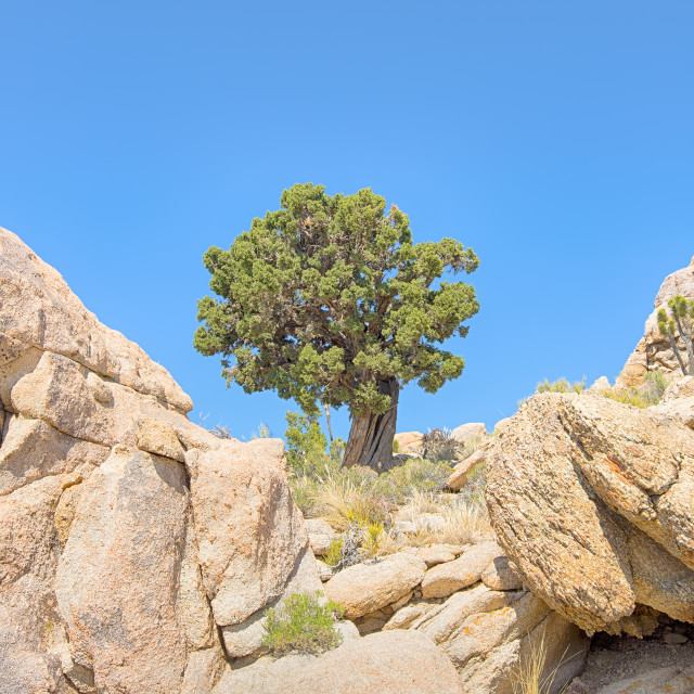 """Sentinel tree, Teutonia Peak Trail, Mojave National Preserve, CA"" stock image"
