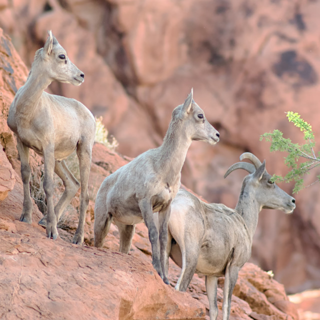 """Bighorn Sheep, Valley of Fire State Park, NV"" stock image"