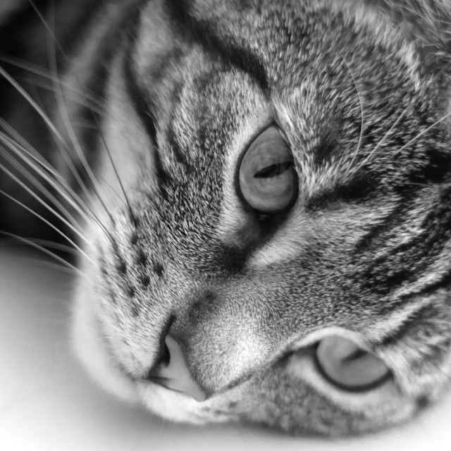 """""""Black and white photograph of tabby cat"""" stock image"""