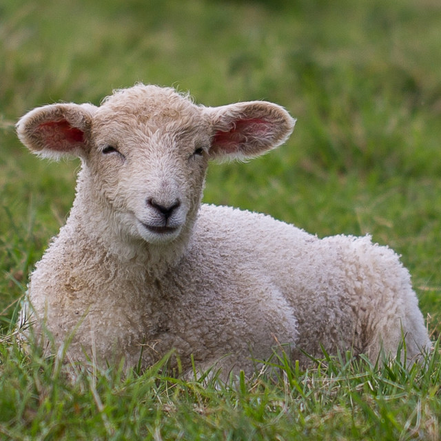 """Lamb"" stock image"