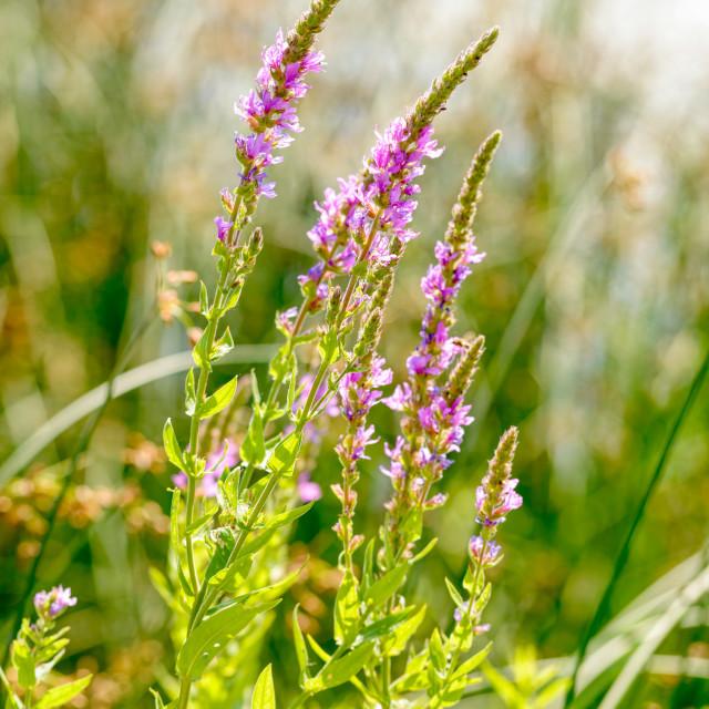 """""""Lythrum salicaria"""" stock image"""