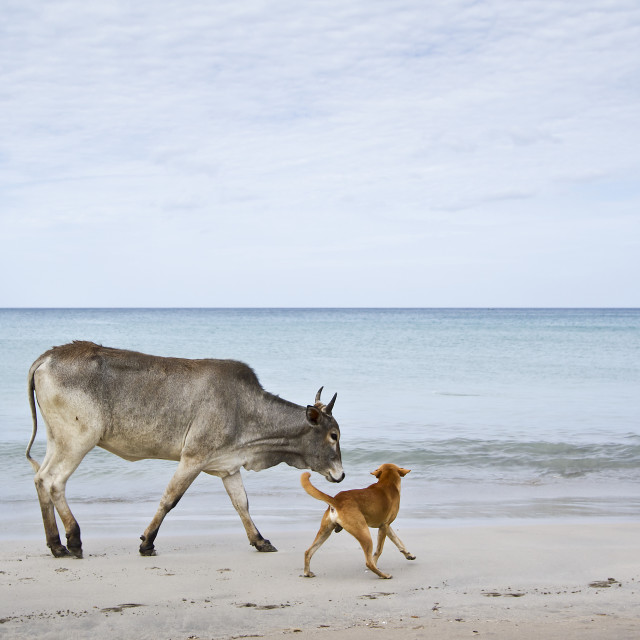 """""""Cattle in Uppuveli beach, Sri Lanka"""" stock image"""