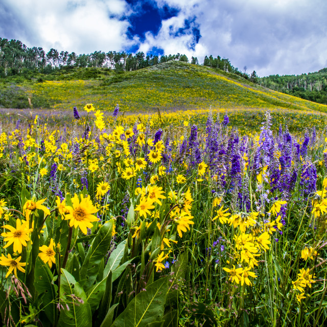"""Wildflowers at Crested Butte, Colorado"" stock image"