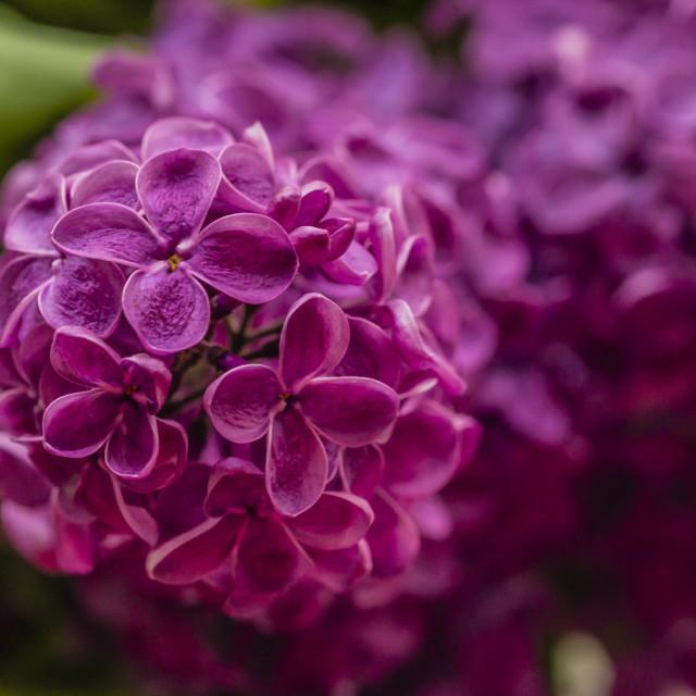 """Lilac 2"" stock image"