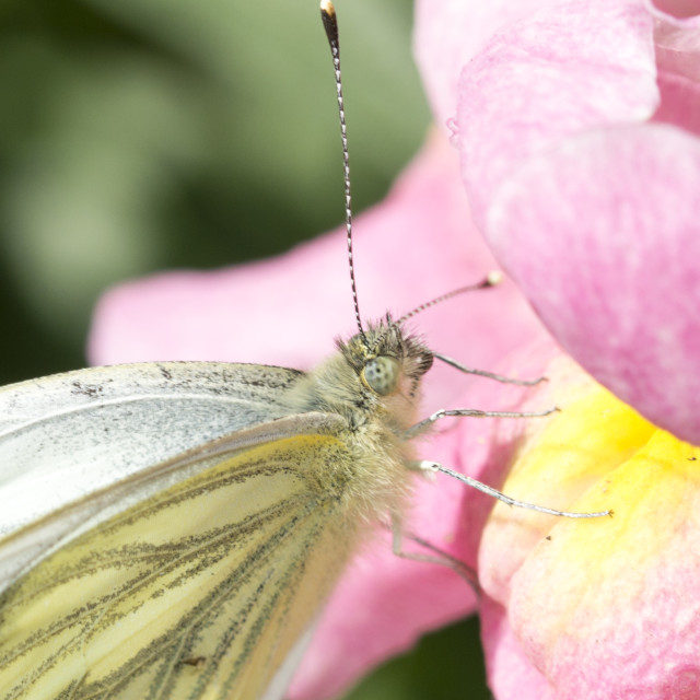 """Green Veined White Butterfly"" stock image"