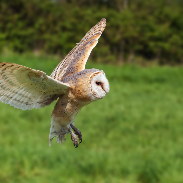 """Barn Owl flying by"" stock image"