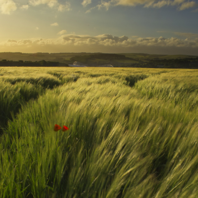 """Poppy in wheat field"" stock image"