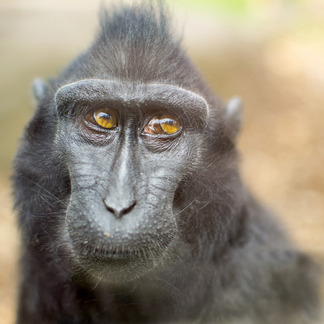 """Macaque"" stock image"