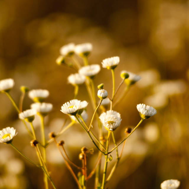 """""""Wild dasies on a meadow at sunset"""" stock image"""