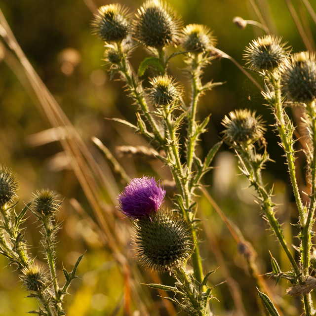 """""""Thistle on the meadow"""" stock image"""