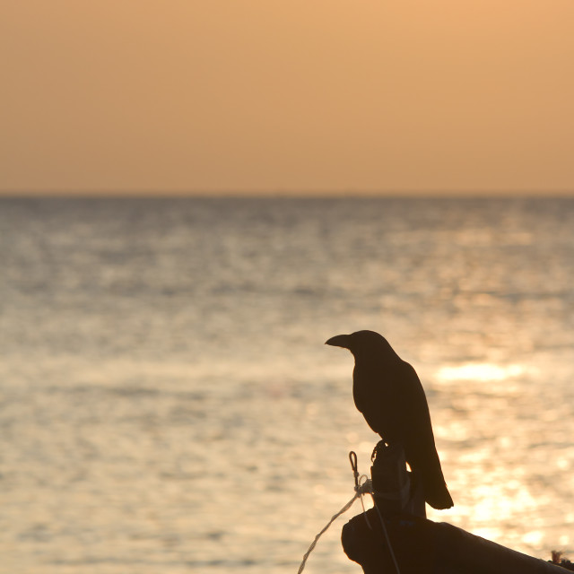 """""""Silhouette of crow in sunset in Sri Lanka"""" stock image"""