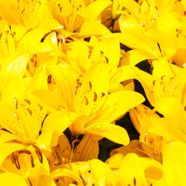 """Closeup of beautiful bouquet of yellow lilies"" stock image"