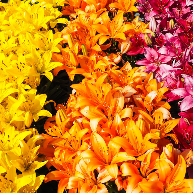 """Closeup of beautiful rows with yellow, orange and dark pink lilies"" stock image"